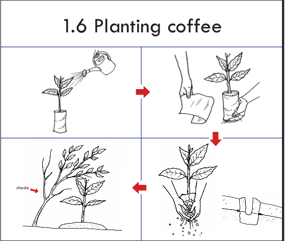 Establishment Of A Coffee Farm