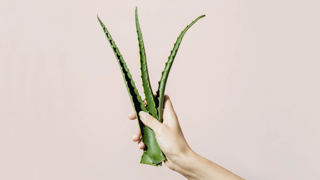 Hand holding aloe plant