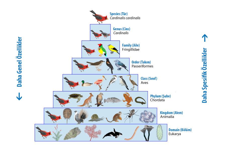 Taksonomi - Canlıların Sınıflandırılması