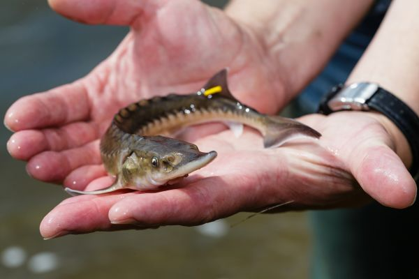 The Lake Sturgeon Growth Results