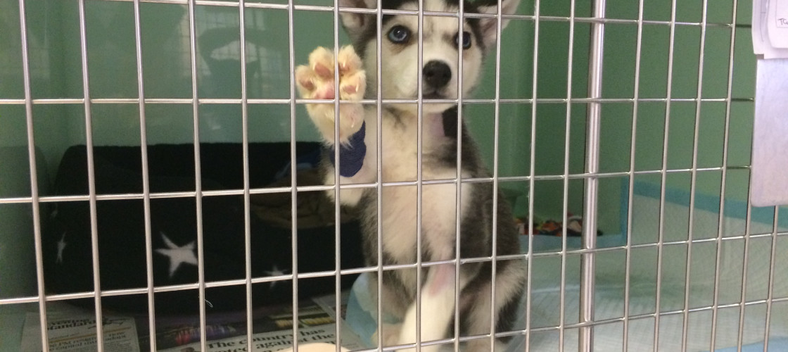 A husky puts its paws against a cage