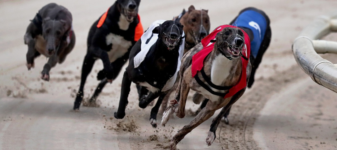 Greyhounds race at the Coral Brighton & Hove Greyhound Stadium.