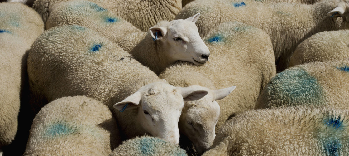 Sheep With Blue Markings On The Wool At The Market; Builth Wells, Powys, Wales