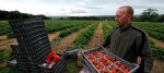 Workers harvest strawberries at a farm in Northumberland