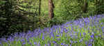 Bluebell's cover the floor of an ancient woodland