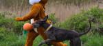 Dog runs alongside Easter bunny costume