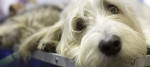 A petit basset Giffon dog