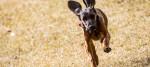 A dog runs through a field