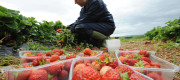 Fresh produce is being left to rot because fewer migrants want to come to the UK, farmers have warned.