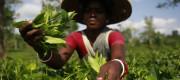 A Bangladeshi woman plucking tea leaves at a tea garden at Srimangal in Sylhet
