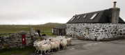 A Scottish farmer moves Black Face and Cheviot Cross Sheep to fresh grazing.