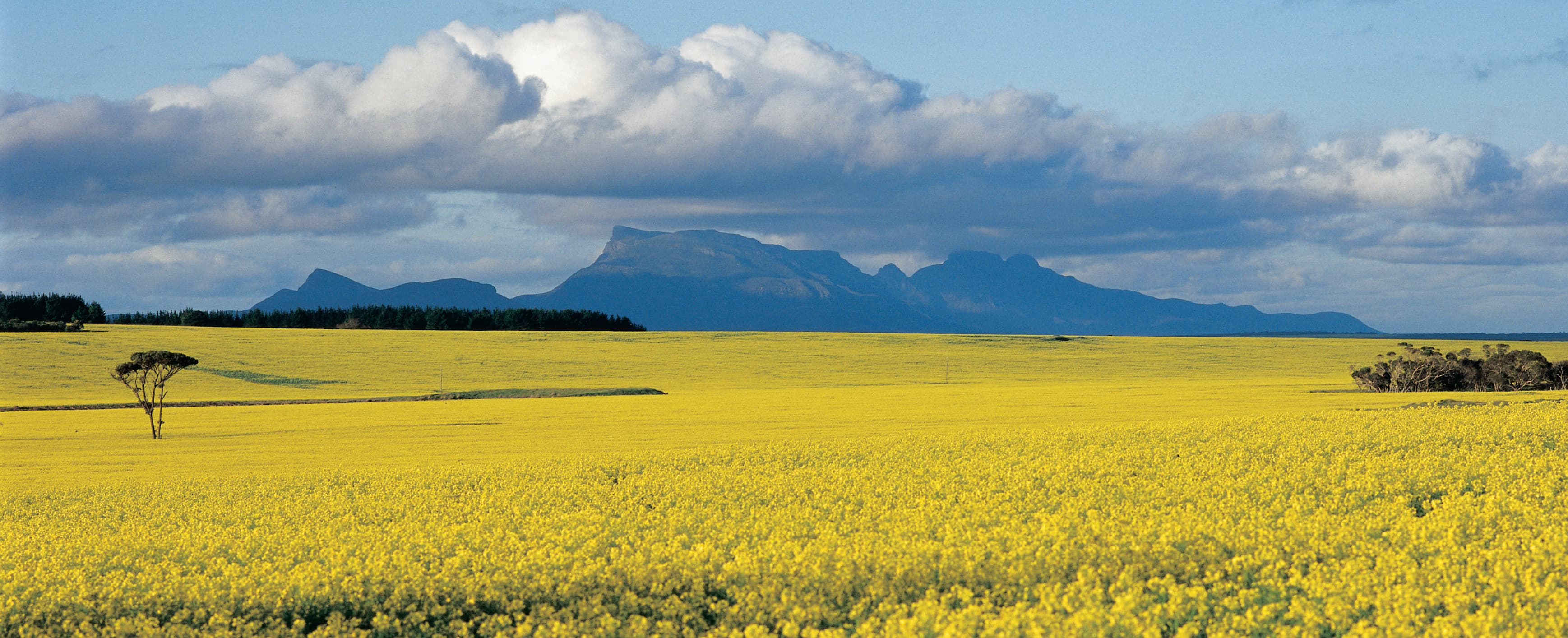 landscape of bright yellow canola fields