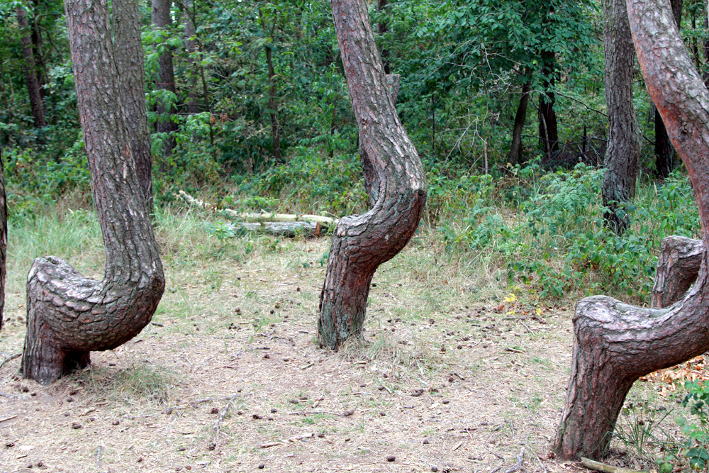 Szczecin Crooked Forest
