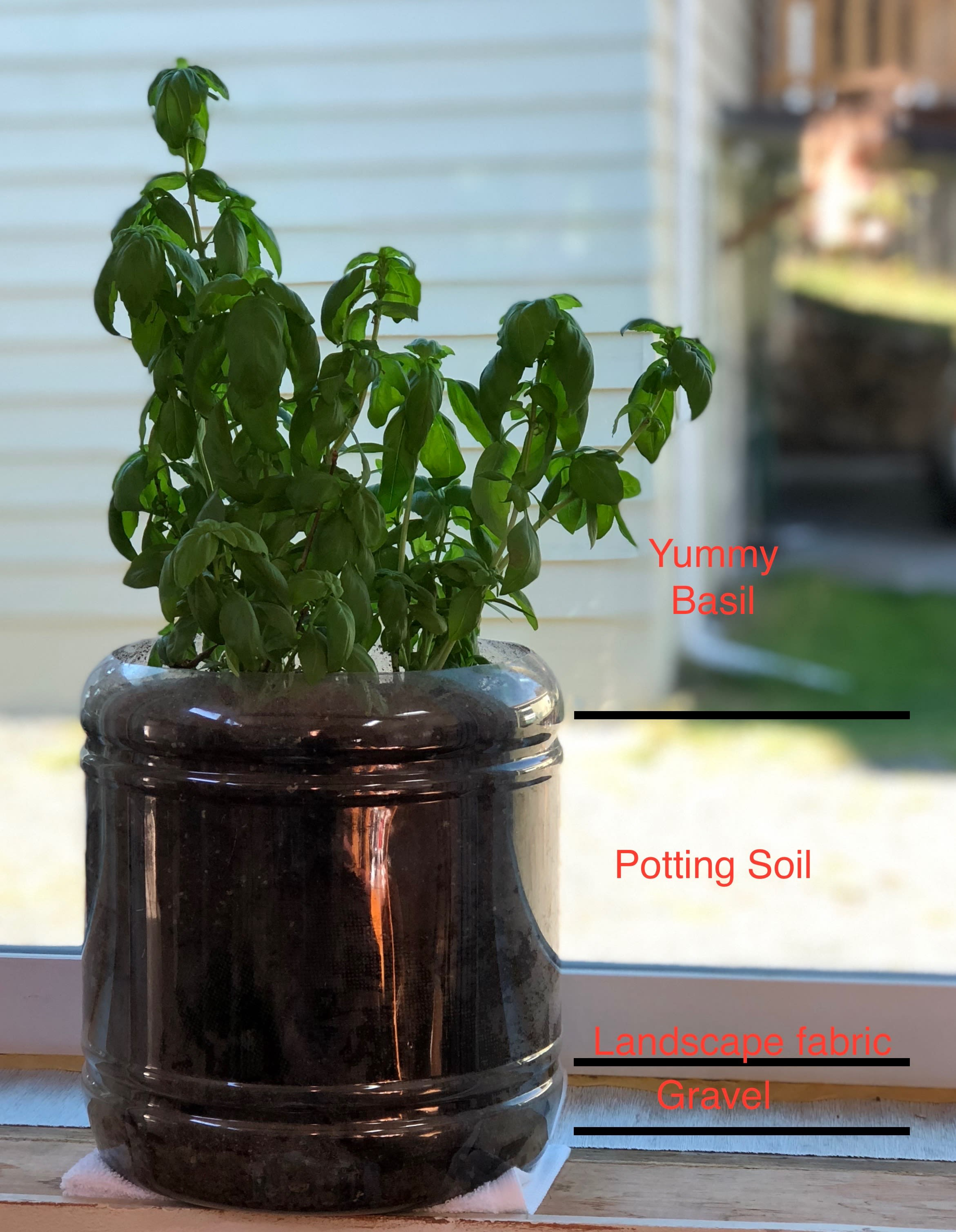 Basil plant, potted in a Utz Cheese Ball container