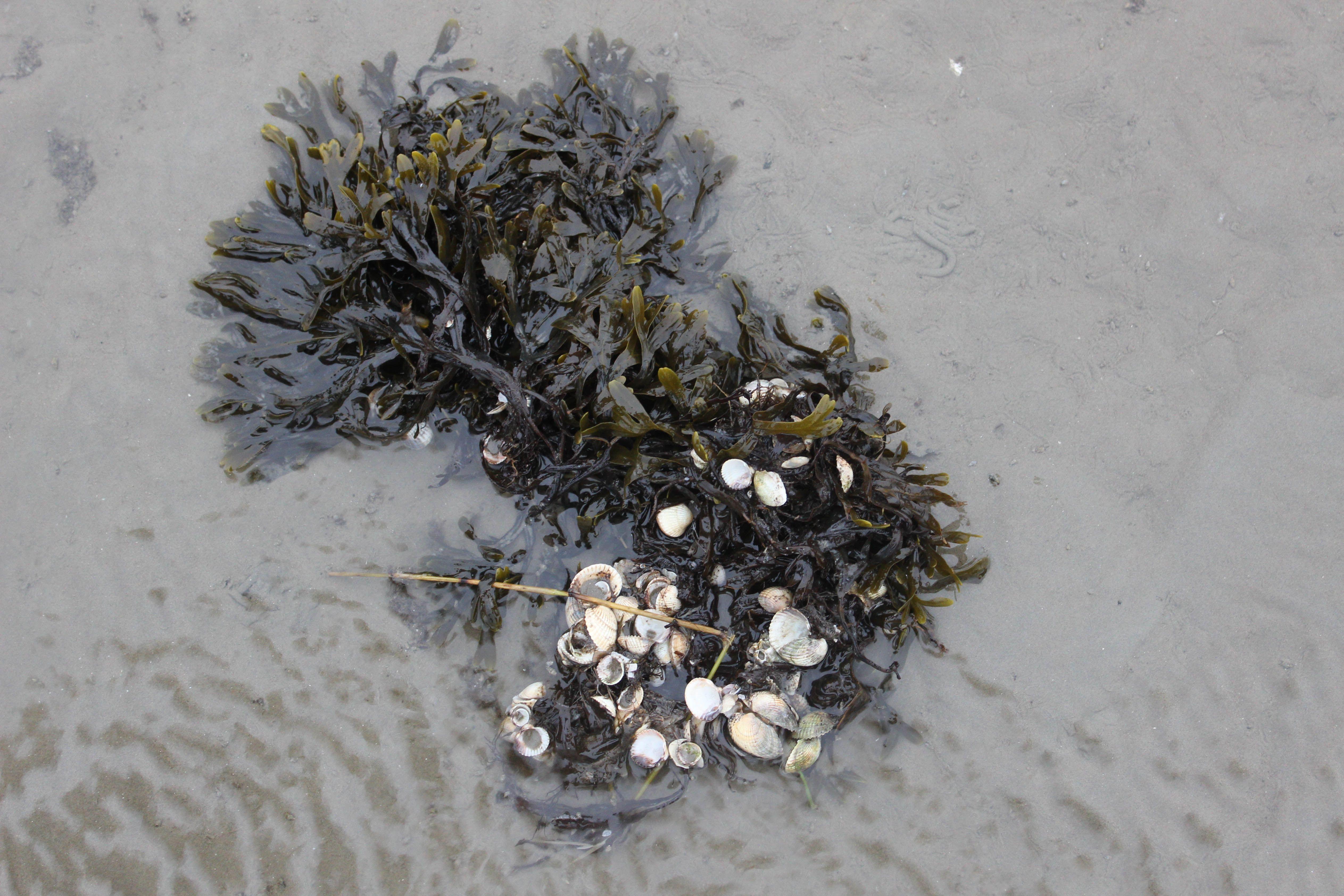 Algae found in the tidelands