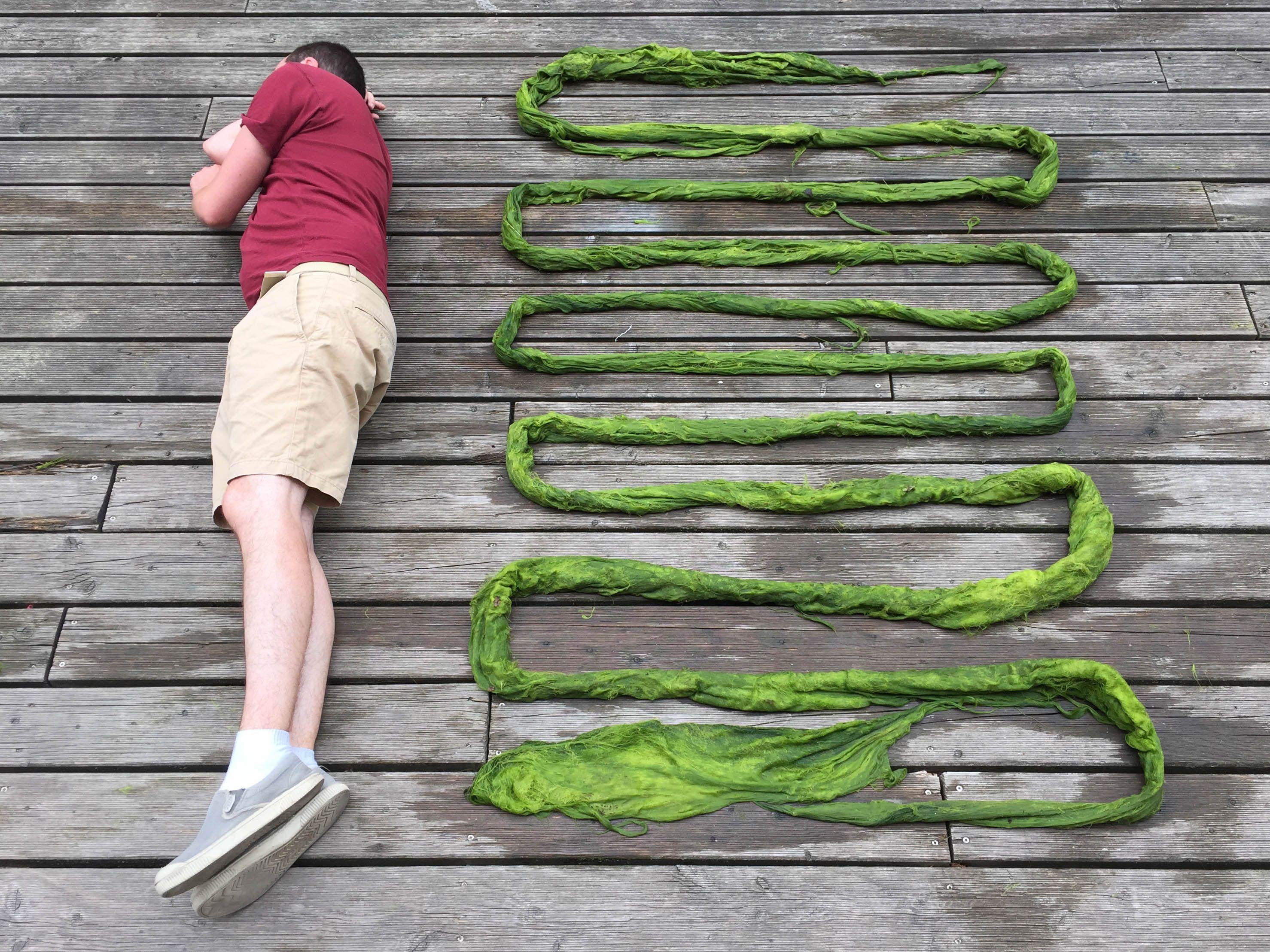 11m of harvested algae