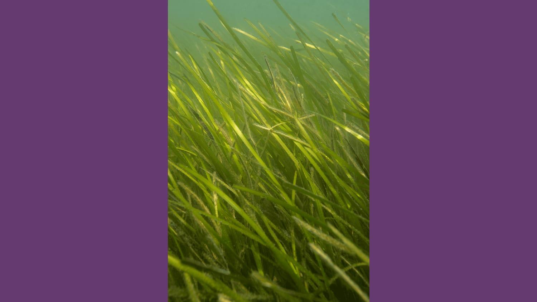 WEB TNC Eel Grass 6 2020 Jay Fleming08