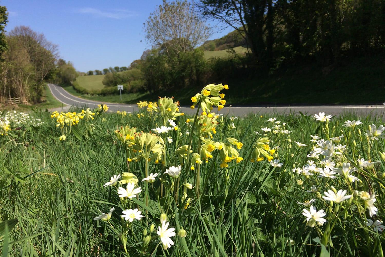 WEB Cowslips and Greater Stitchwort 2 c Trevor Dines Plantlife