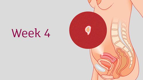 Menelusuri Perkembangan Kehamilan Anda pada Minggu ke 4