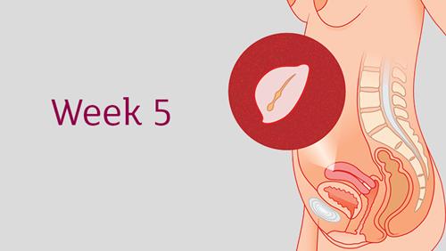 Menelusuri Perkembangan Kehamilan pada Minggu Ke 5