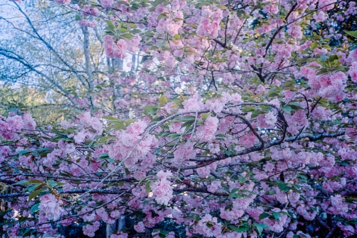 photo of tree with pink flowers