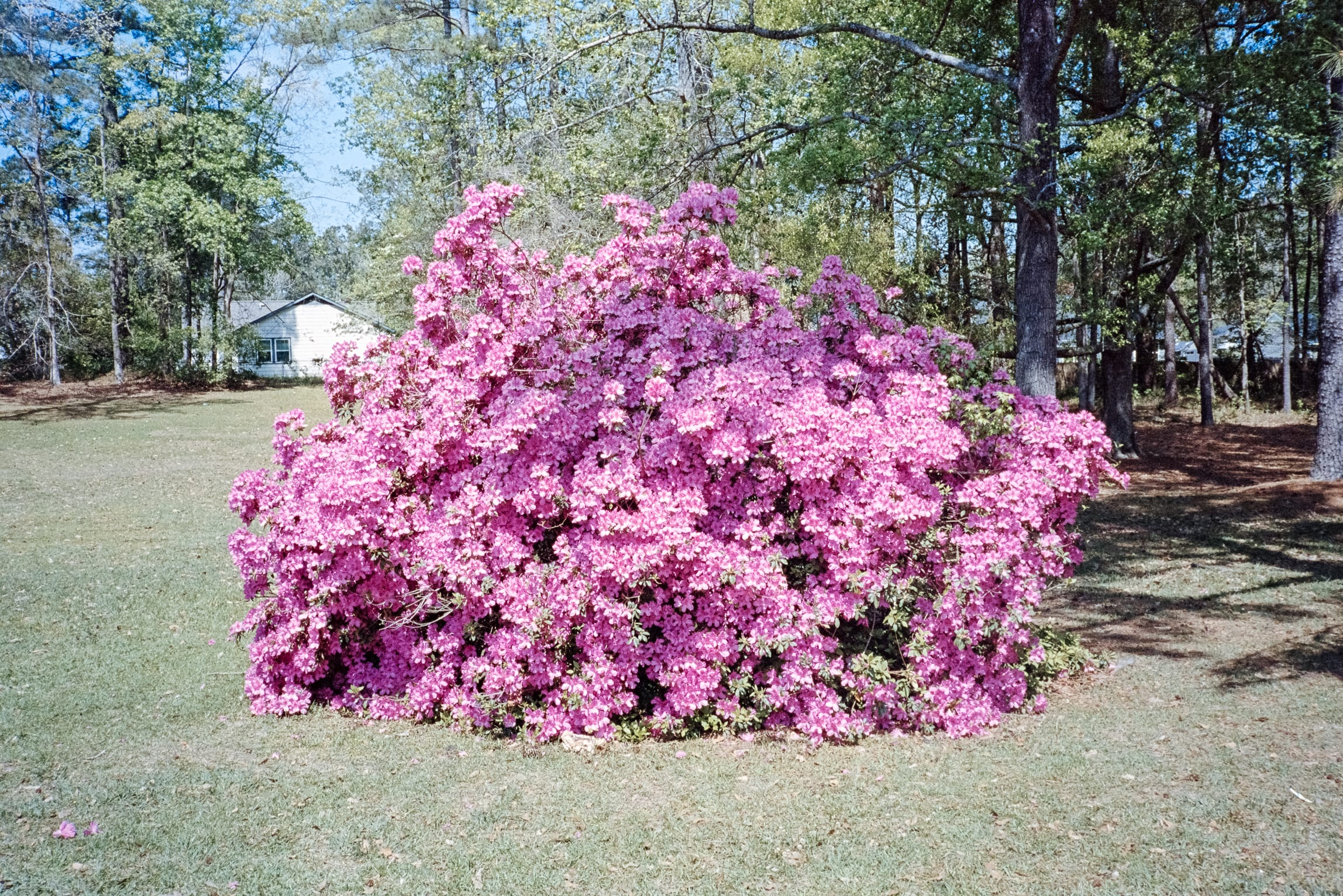 large azalea bush