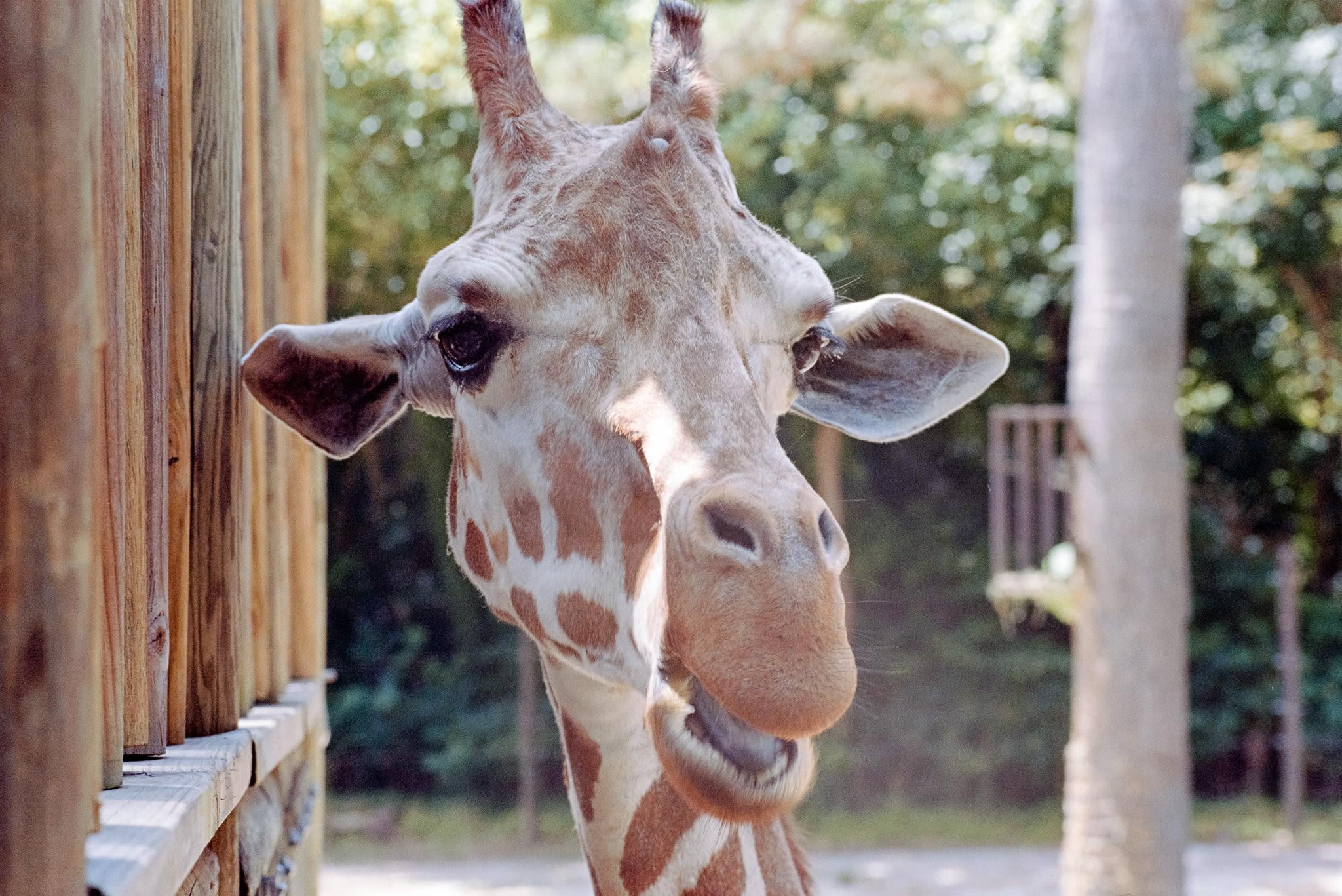 upclose of giraffe face