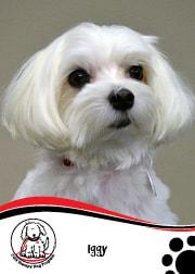 Iggy - CGH Therapy Dog