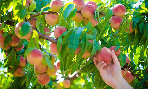 Peaches from Crossing Rivers Health