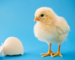 A newly hatched chicken stands by a broken egg shell.