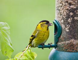A bird using a bird feeder.