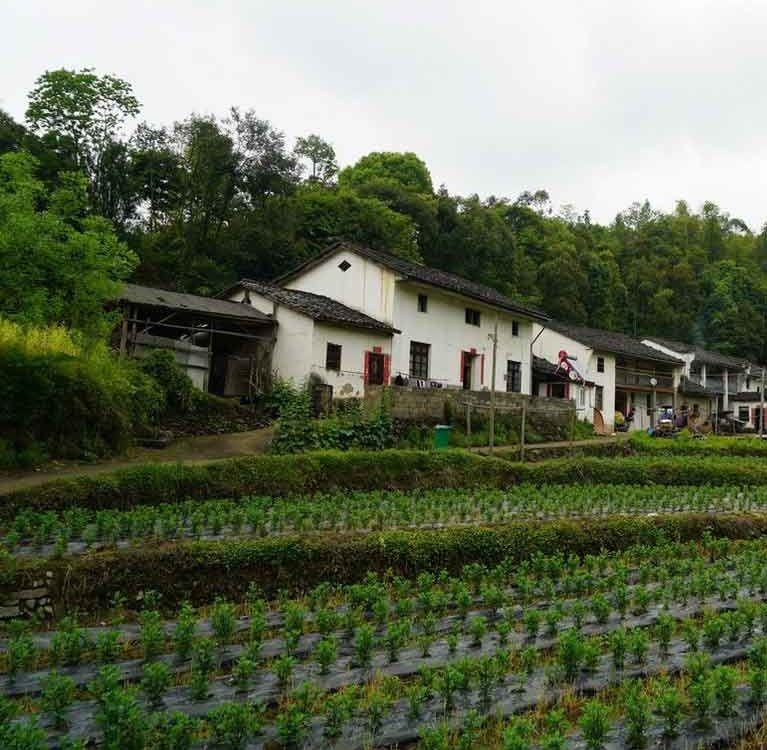 Зеленый чай провинции Аньхой