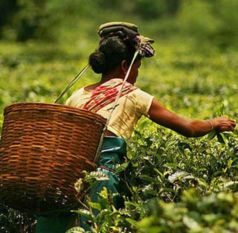 Чайный регион Нилгири
