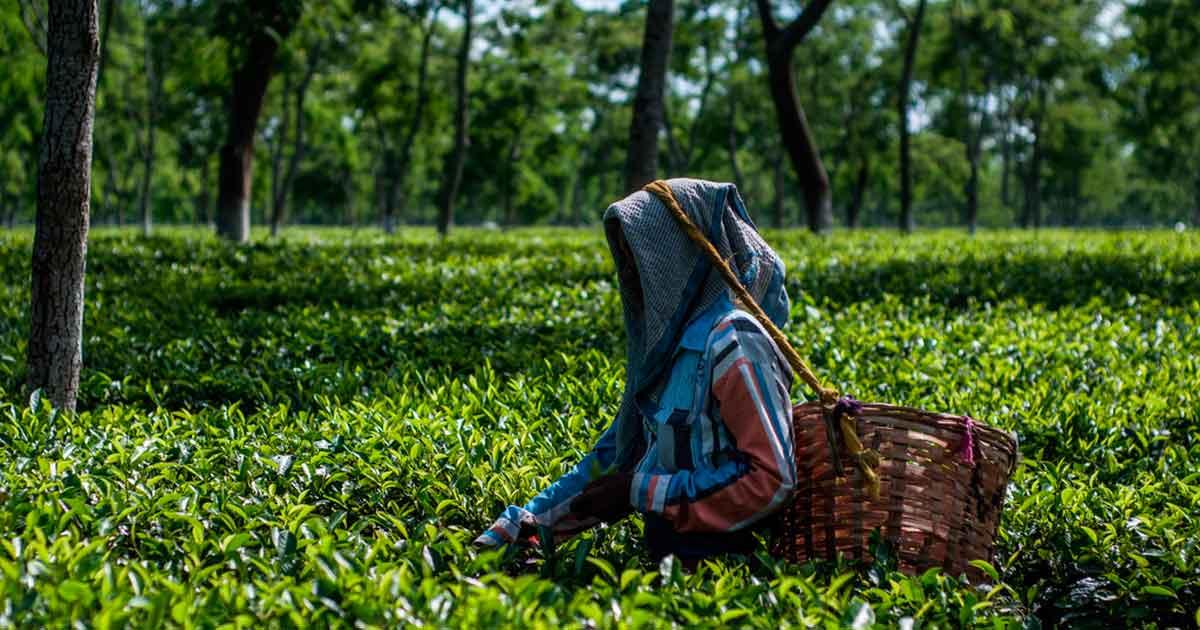 Чай Ассам (Assam Tea)