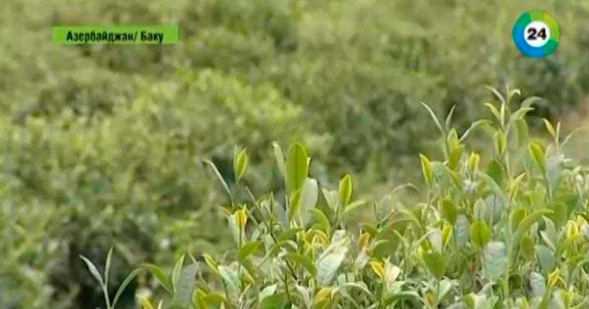 Азербайджан может стать главным потребителем российского чая