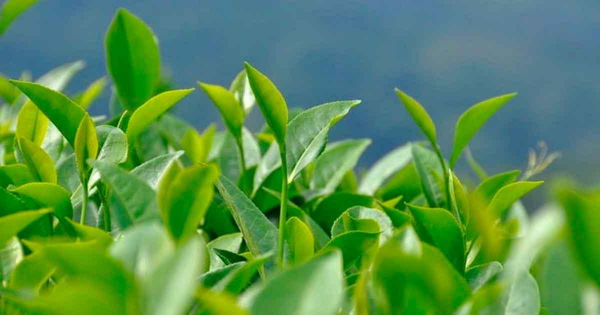 Как производят чай Матча