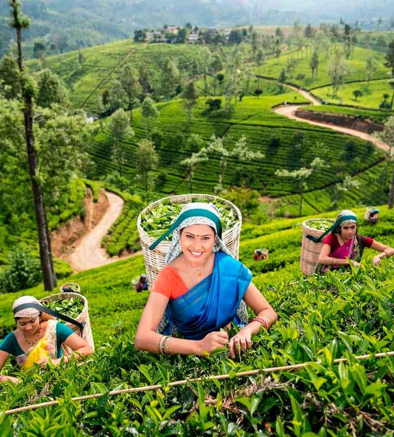 Цены на цейлонский чай в Шри-Ланке снижаются, ожидается падение производства