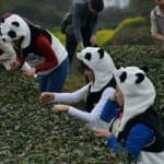 Чай Panda_dung