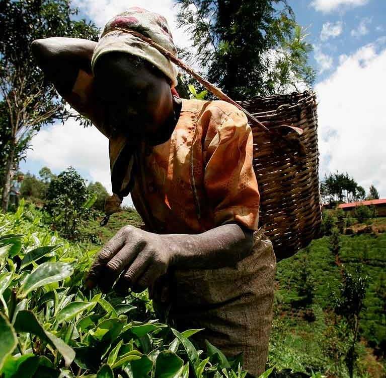 Инициатива Организации Объединенных Наций поддерживает женский чайный бизнес в Кении