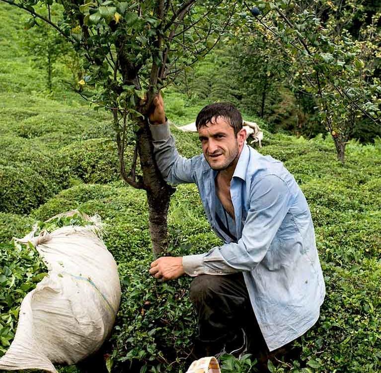 Правительство Грузии начинает реабилитацию чайных плантаций