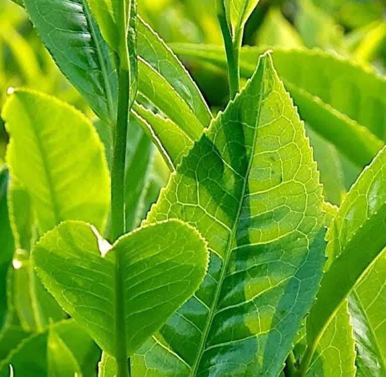 Небольшая научная новость о том, почему в альбиносных сортах чая содержится больше L-теанина