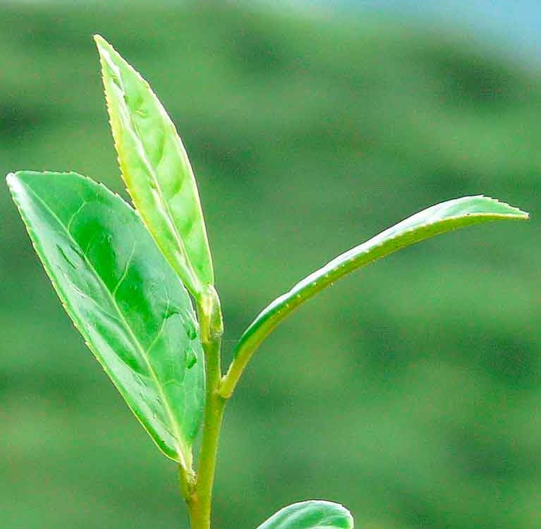 Технологии производства чая