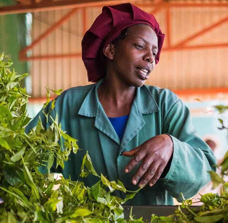 Черный чай может подорожать из-за затяжной засухи в Кении