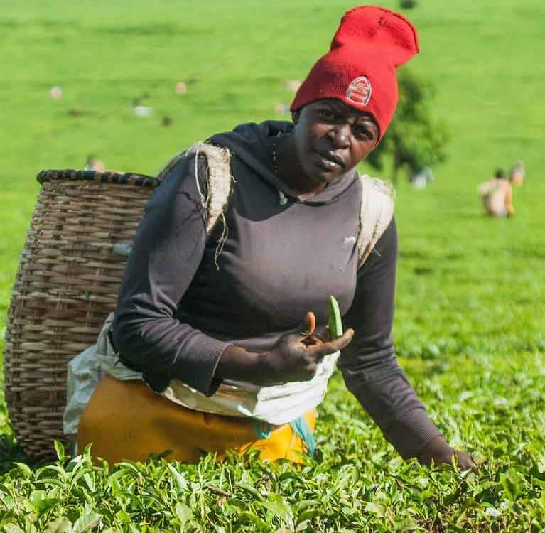 Из-за падения цен на чай и засухи Кения несет финансовые потери
