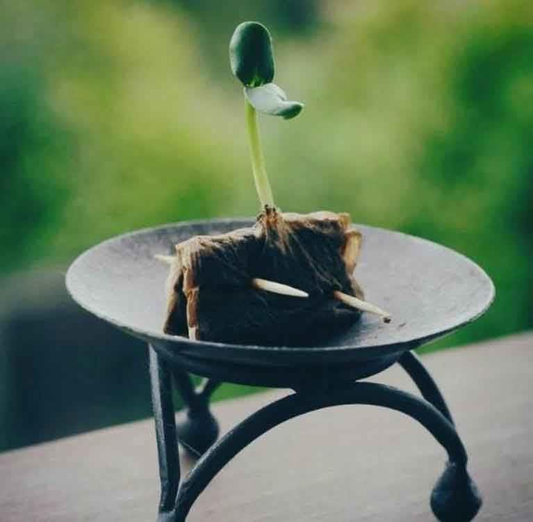 Применение удобрений при выращивании чая