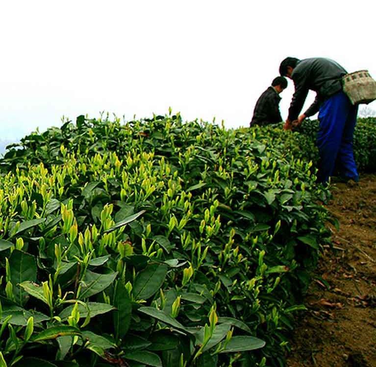 В Китае будет построен индустриально-культурный парк жёлтого чая