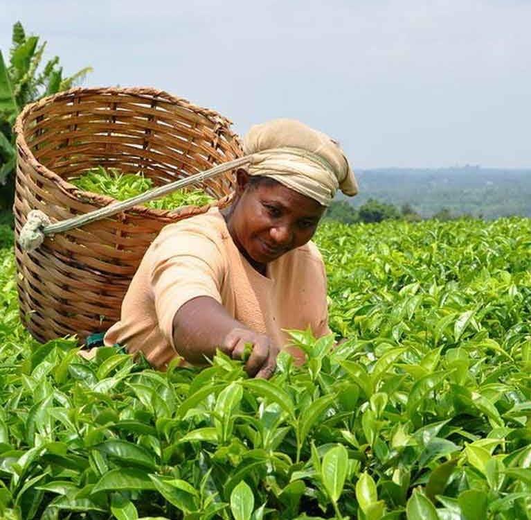 Пакистан отменяет обязательное тестирование афлатоксинов чая