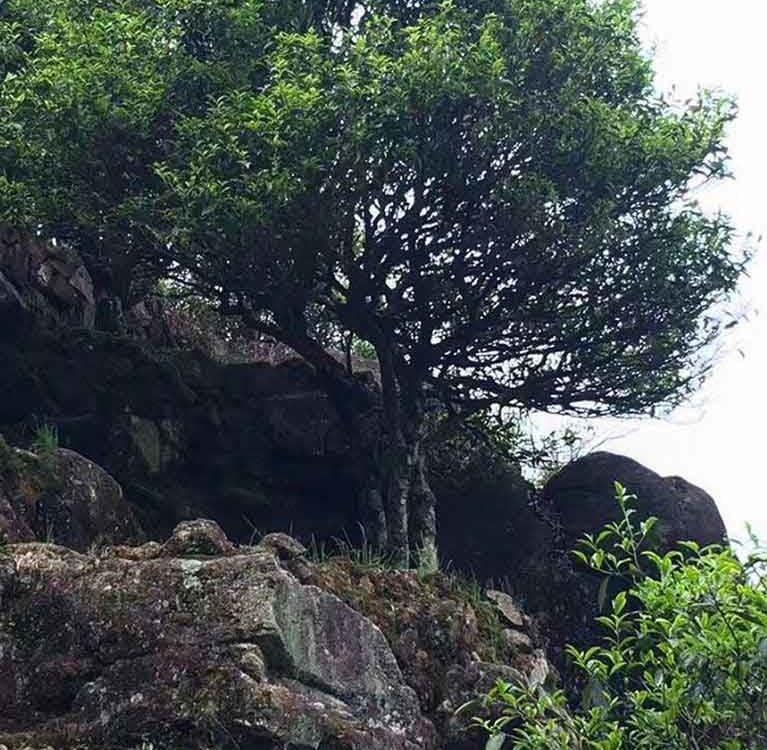 Причины разных ароматов «Одиноких кустов с горы Фэнхуан»