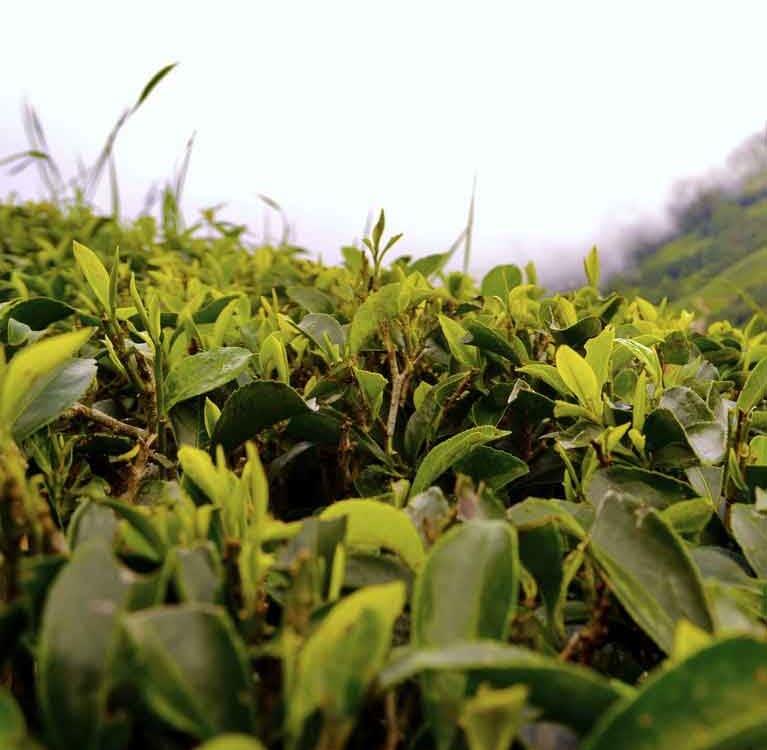 Чай Индии под угрозой