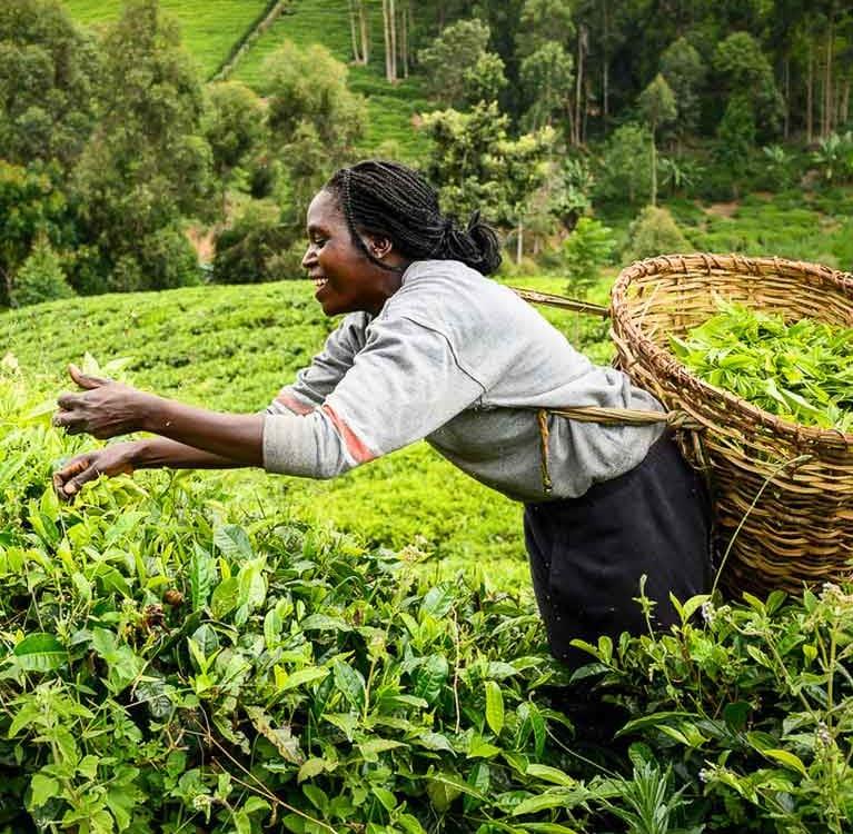 Дефицит индийского чая стимулировал кенийскую чайную торговлю